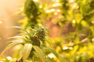 Cannabis-bud