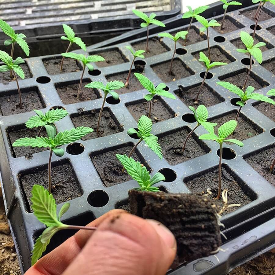 northern-vigour-cannabis-seed-strains