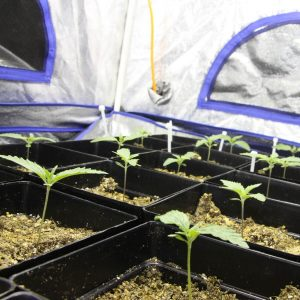 regular cannabis seeds versus feminized seeds