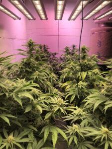 High quality cannabis crop efficient