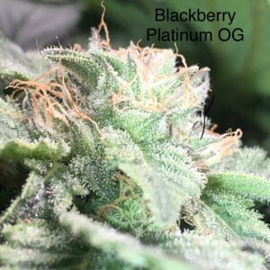 blackberry platinum og