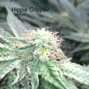 hippie crippler seeds strain