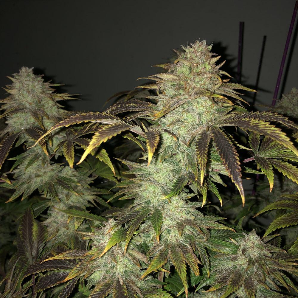 Cannabis Buds ripening