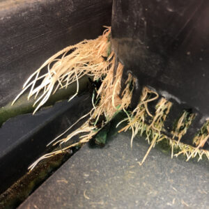 Cannabis Hydroponic healthy roots