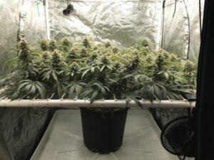 best-scrog-cannabis-strains