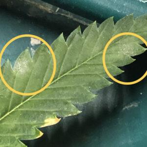 Pest Control identifying powdery mildew